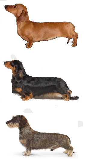 Buying a Dachshund | The Dachshund Breed Council UK