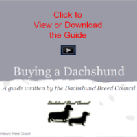 Buying a Dachshund