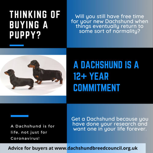 A Dachshund is for life, not just for Coronavirus!